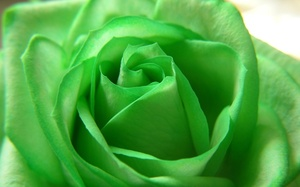 Rose, green, цветы, flower, зелёная, роза, beautiful nature wallpapers